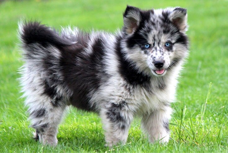 Pomeranian Husky Dog Breed also known as Pomsky Breed