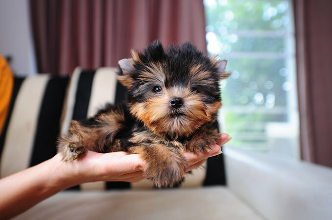 Teacup Yorkie (Yorkshire Terrier Puppy)
