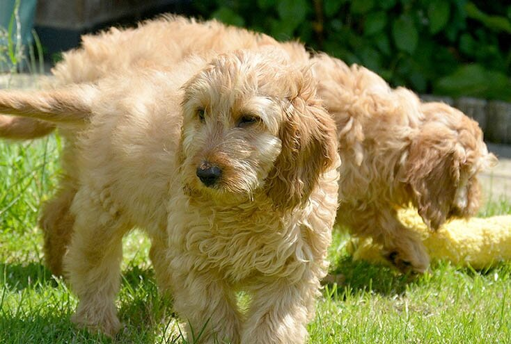 Cockapoo - Poodle and Cocker Spaniel