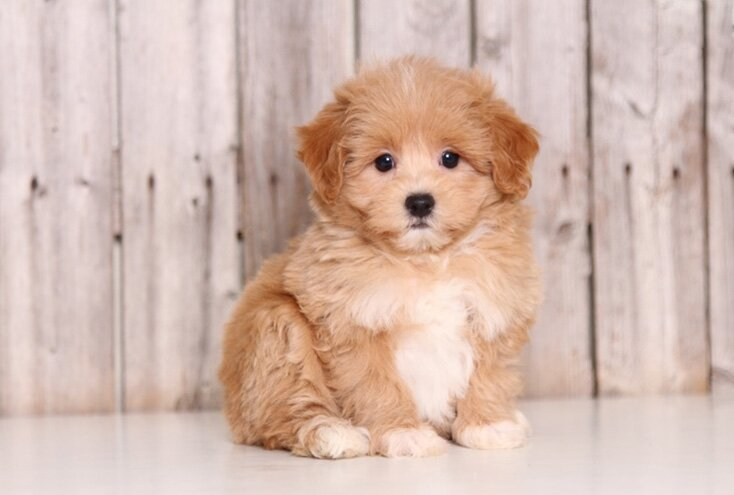Things to know before buying a Maltipoo
