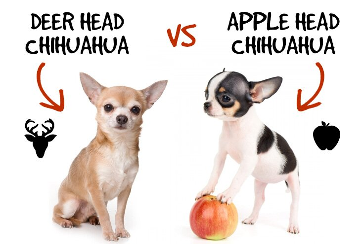 apple head vs deer head chihuahua differences