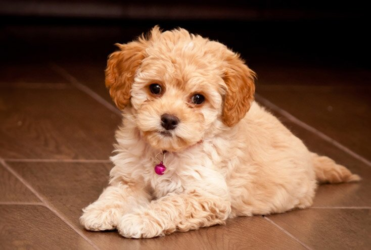 maltipoo maltese poodle mix breed info