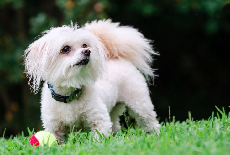 14 Facts About Maltipoo Dog Breed: Maltese Poodle Mix