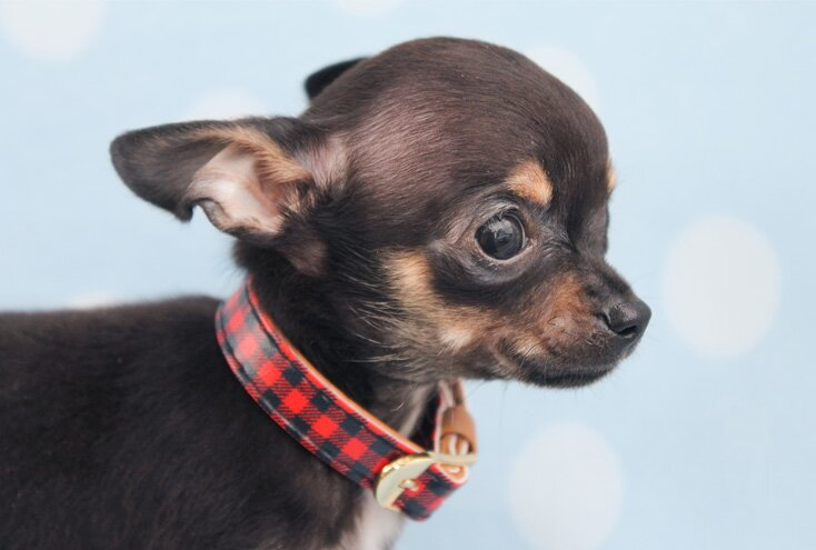 teacup chihuahua dog breed