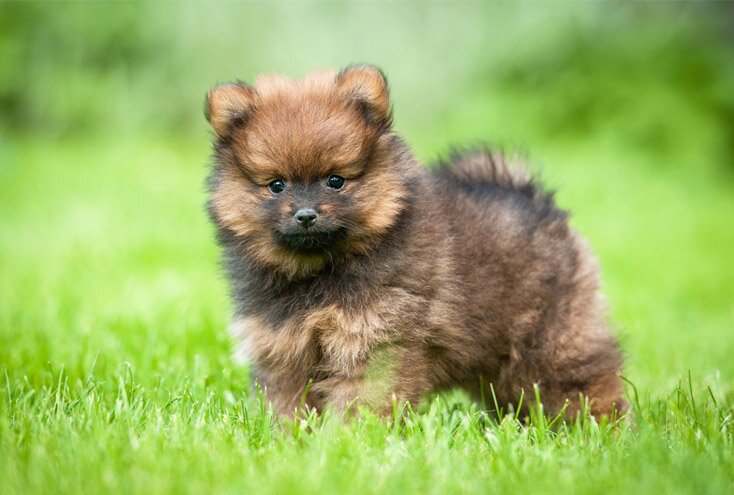 teacup pomeranian colors