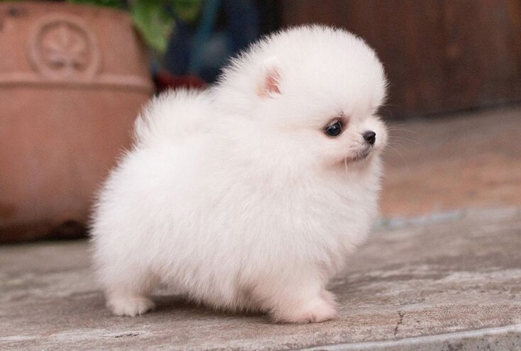 teacup pomeranian dog breed