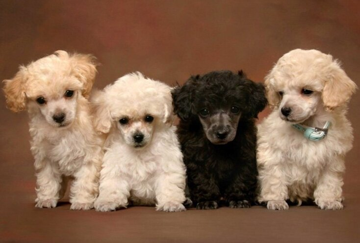 top 20 poodle mixes and poodle mix breed list