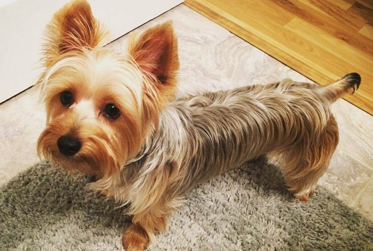 Australian Silky Terrier dogs that don't shed