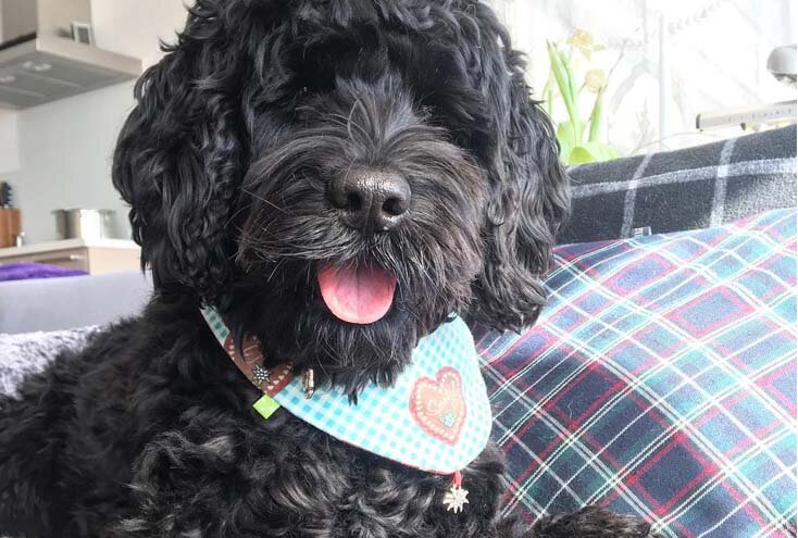 Portuguese Water Dog breed that don't shed