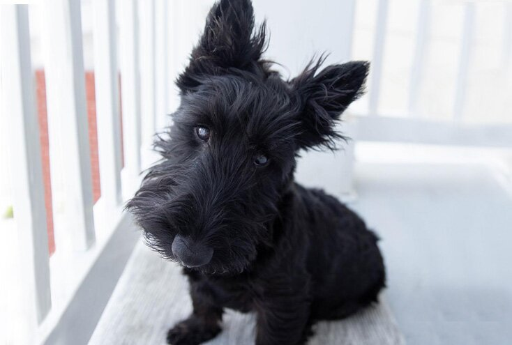 Scottish Terrier dog breed