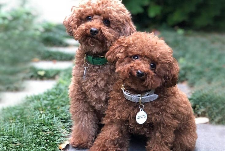 poodle dogs that don't shed