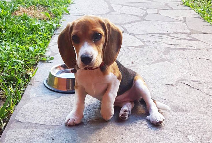 teacup beagle dog breed