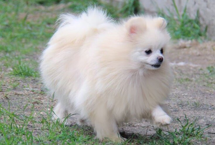 teacup pomeranian breed