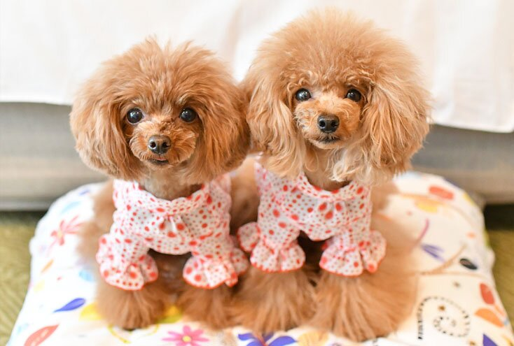 teacup poodle breed