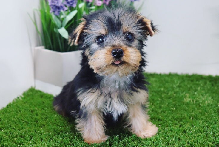 teacup yorkie breed