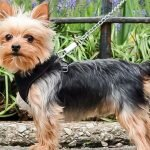 teacup yorkie dog information