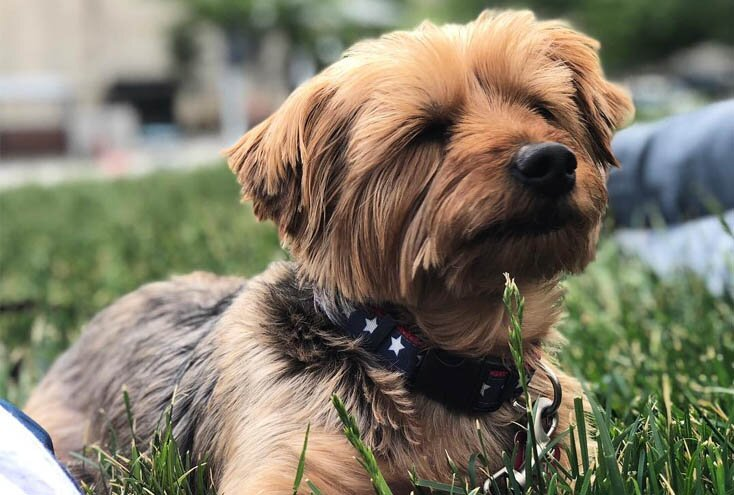 yorkshire terrier dog teacup yorkie